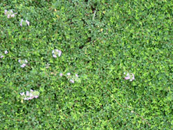 plants_lavender_thyme