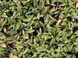 plants_leptinella_calcarea