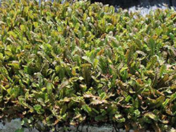 plants_leptinella_traillii