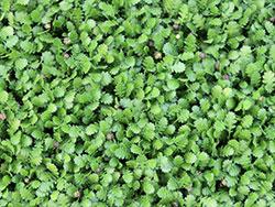 plants_leptinelladioca
