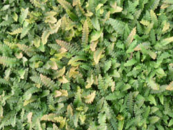 plants_mat_fern