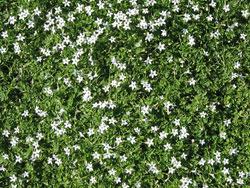 plants_whitestars
