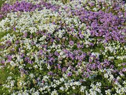 plants_whitethyme