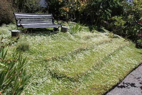 White thyme garden 4
