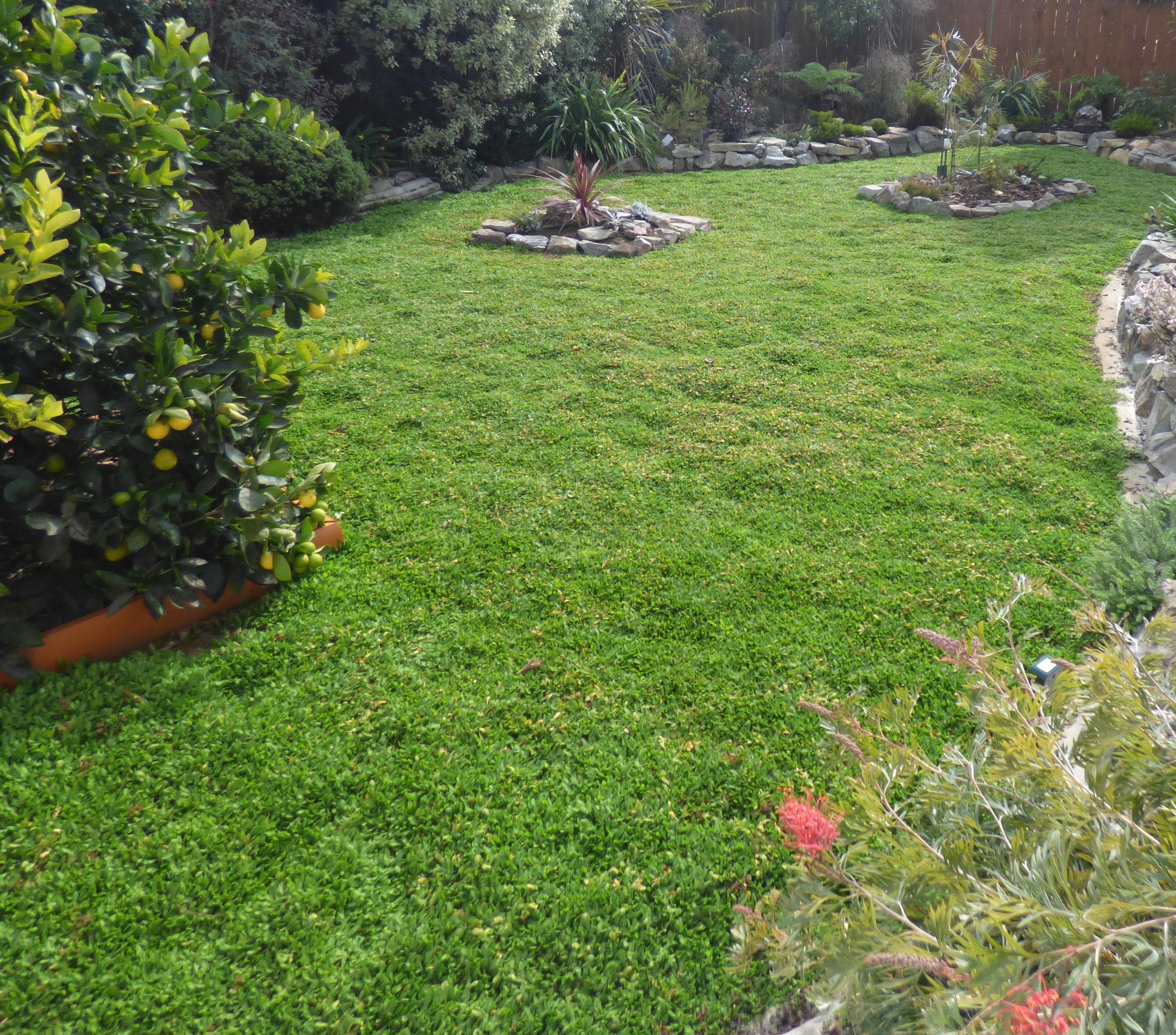 Leptinella dioica lawn in Motueka